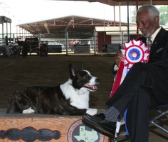 Cardigan Welsh Corgi image: Ch Twinroc Santa Paws winning Best In Show