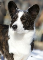 Cardigan Welsh Corgi image: MBIS BISS GCh Ch Twinroc Santa Paws HT PT ROMg