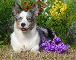 Cardigan Welsh Corgi image: Ch Pecan Valley Dejah Blue
