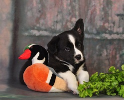Welsh Corgi Cardigan National Dog Show Portland Usa