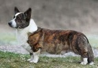 Cardigan Corgi image: Am/Can/Nor/Sw Ch  				Shadowalk Trademark ROMg