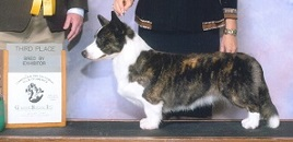 Cardigan Corgi image: Ch Telltail Too Bad She's Bad