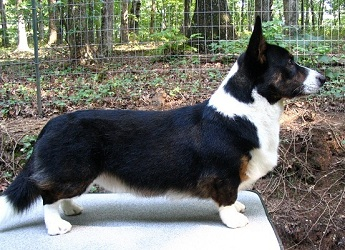 Cardigan Corgi image: Ch Trudytale's About Last Night ROMg