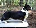 Cardigan Corgi image:Am Ch Trudytale's About Last Night ROMg