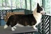Cardigan Corgi image: Am Ch Trudytale's  				Once Upon A Time ROMg