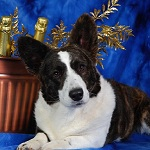 Cardigan Corgi image: Ch Twinroc Telltail Three Wishes